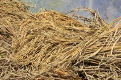 Background of golden ear paddy. Background of closeup golden ear paddy stock photography