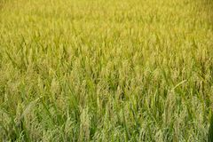Background Paddy fields. Background of The golden rice in the field of thai farmers in the harvest season Stock Photos