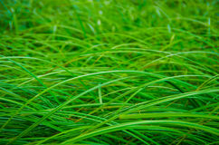 Background good forest green sedge Royalty Free Stock Photo