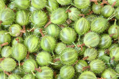 Background of gooseberry. Close up of freshly picked gooseberries Stock Images
