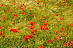 Background of grain an poppies Stock Images