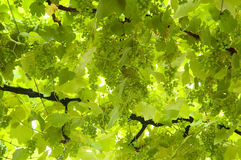 Background of grape leaves Stock Photos