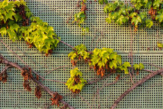 Background with grape leaves over the metal textured fence with warm evening sun light Royalty Free Stock Images