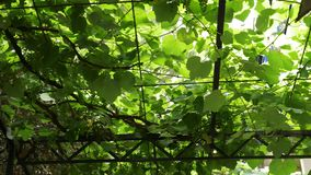 Background with grape leaves and young grapes on vine. 4k,. Background with grape leaves and young grapes on vine. 4k stock video footage