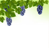 Background with grapes and leaves. Royalty Free Stock Photography