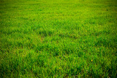 Background of grass. Background of green grass on a sunny day Royalty Free Stock Photos