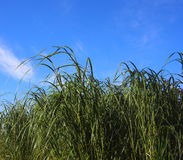 Background-Grass Against Blue Sky Stock Image