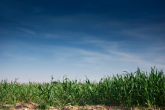 Background grass and blue sky Royalty Free Stock Image
