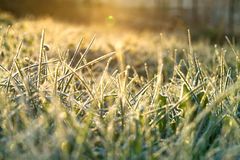 Background from a grass covered with hoarfrost Stock Images