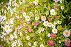 Background made from grass and daisy flowers Stock Photos