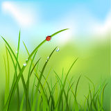 Background with grass, dew, ladybug. Vector illustration Royalty Free Stock Image