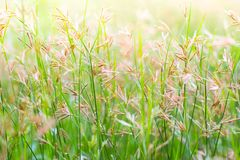 Background of grass flower Stock Photo