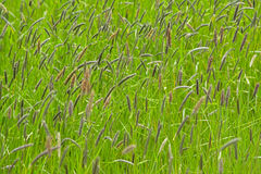 Background of grass and flowering sedge plants (Cyperaceae) Royalty Free Stock Image