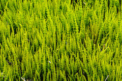 Background grass. Green texture curly Royalty Free Stock Images
