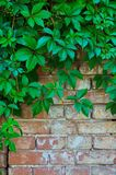 Background of a gray stone wall with green ivy leaves. In the top of the photo Royalty Free Stock Photo