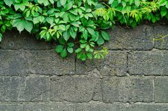 Background of a gray stone wall with green ivy leaves. In the top of the photo Royalty Free Stock Images