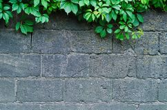 Background of a gray stone wall with green ivy leaves. In the top of the photo Royalty Free Stock Photography