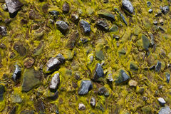 Background of green algae Royalty Free Stock Photo