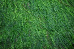 Background from green algae. Royalty Free Stock Photos