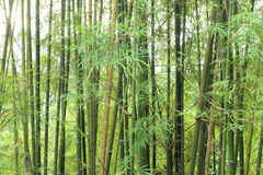 Background of green bamboo trees Royalty Free Stock Photos
