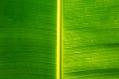 Background of green banana leaf, close up, horizontal composition.  stock photo