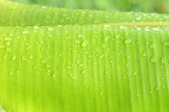 Background green banana leaf. Green banana leaf background with water stop stuck Royalty Free Stock Image