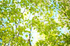 Background of green Betula leaves Stock Photography