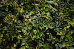 Background with green branches of a bush Royalty Free Stock Photos