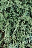 Green bush with long textured branches.Green textured background royalty free stock photography