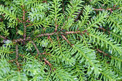 Background of green branches with needles fir tree Stock Images