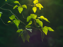 Background with green branches at sunset Royalty Free Stock Photography