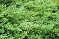 Background of green branches of thuja Royalty Free Stock Image