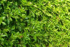 Background of green bush. Background of green clipped bush. Green wall on sun royalty free stock images