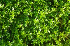 Background of green bush. Background of green clipped bush. Green wall on sun royalty free stock image
