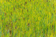 Background of green cane Stock Photo