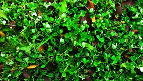 Background of green clover royalty free stock image