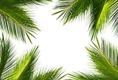 Background of green coconut palm leaf on white sky background. Natural frame of green coconut palm leaf on white background and text copy space. Using idea Stock Image