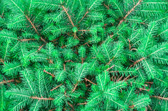 Background of green fir branches Stock Photo