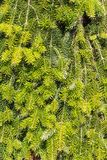 Background of green fir needles Stock Photos