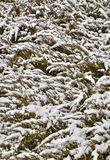 Background with green flora covered with snow Stock Photo