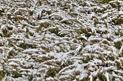 Background with green flora covered with snow Royalty Free Stock Photo
