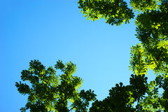 Background of green foliage and blue sky Royalty Free Stock Image