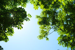 Background of green foliage and blue sky Royalty Free Stock Photos