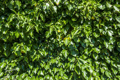 Background of green foliage in sunnyday Stock Photo