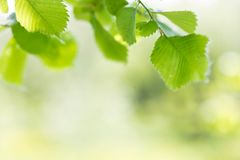 Background from green fresh foliage of trees in software focus. The place for an inscription or the text stock photos