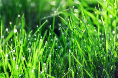 Background of green fresh grass with dew in the morning Stock Photos