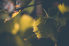 Background green grape leaf illuminated by the sun, yellow rays Stock Photo