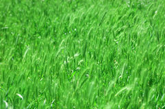 Background from a green grass. Background from a bright green beautiful grass royalty free stock photos