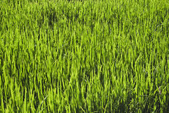 Background of green grass Royalty Free Stock Images