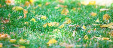 Background of green grass with autumn yellow leaves Banner concept.  stock photo